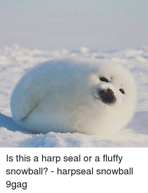9gag, Memes, and Seal: Is this a harp seal or a fluffy snowball? - harpseal snowball 9gag