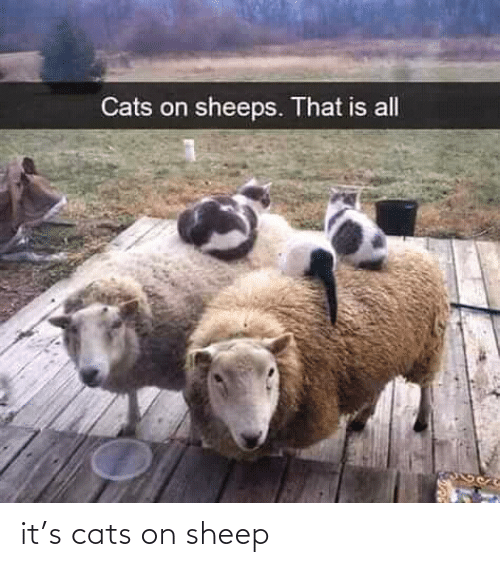 Cats, Sheep, and S: it's cats on sheep