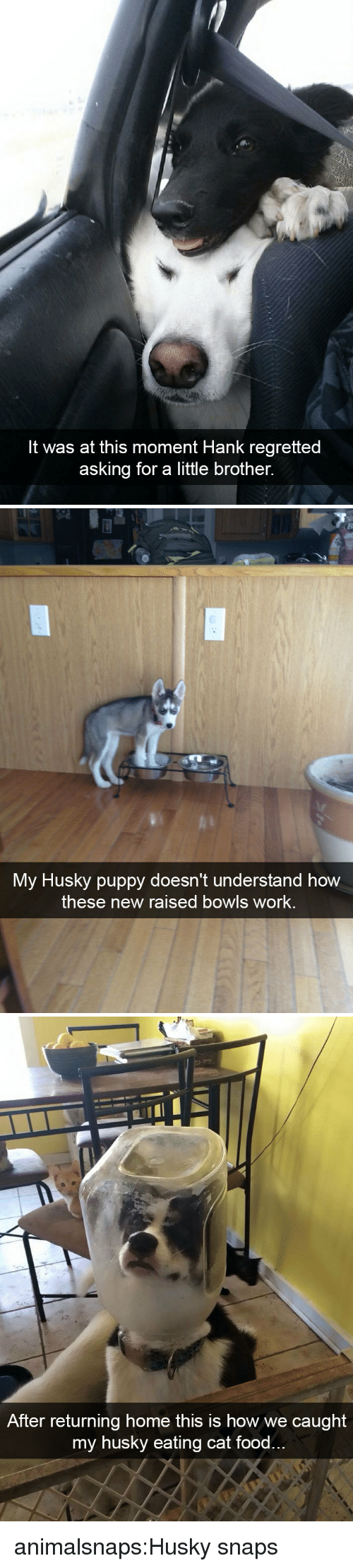 Food, Target, and Tumblr: It was at this moment Hank regretted  asking for a little brother.   My Husky puppy doesn't understand how  these new raised bowls work.   After returning home this is how we caught  my husky eating cat food animalsnaps:Husky snaps