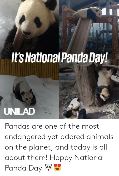 pandas: It'sNationalPanda Day!  UNILAD Pandas are one of the most endangered yet adored animals on the planet, and today is all about them! Happy National Panda Day 🐼😍
