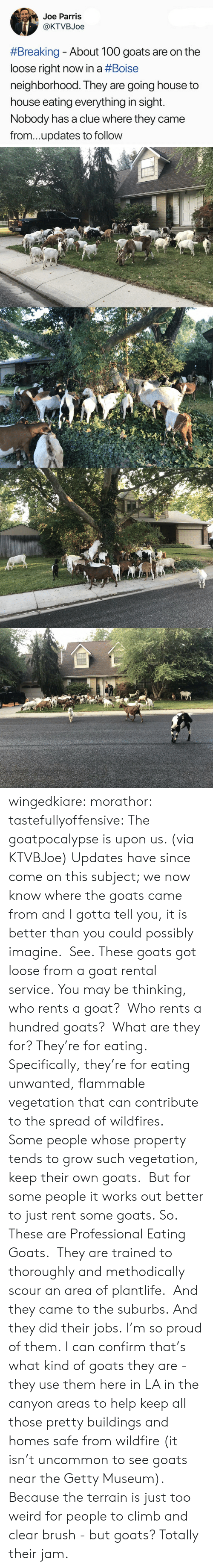 gotta tell you: Joe Parris  @KTVBJoe  #Breaking-About 100 goats are on the  loose right now in a #Boise  neighborhood. They are going house to  house eating everything in sight.  Nobody has a clue where they came  from...updates to follow wingedkiare:  morathor: tastefullyoffensive: The goatpocalypse is upon us. (via KTVBJoe) Updates have since come on this subject; we now know where the goats came from and I gotta tell you, it is better than you could possibly imagine. See. These goats got loose from a goat rental service. You may be thinking, who rents a goat? Who rents a hundred goats? What are they for? They're for eating. Specifically, they're for eating unwanted, flammable vegetation that can contribute to the spread of wildfires. Some people whose property tends to grow such vegetation, keep their own goats. But for some people it works out better to just rent some goats. So. These are Professional Eating Goats. They are trained to thoroughly and methodically scour an area of plantlife. And they came to the suburbs. And they did their jobs. I'm so proud of them.  I can confirm that's what kind of goats they are - they use them here in LA in the canyon areas to help keep all those pretty buildings and homes safe from wildfire (it isn't uncommon to see goats near the Getty Museum).  Because the terrain is just too weird for people to climb and clear brush - but goats?  Totally their jam.