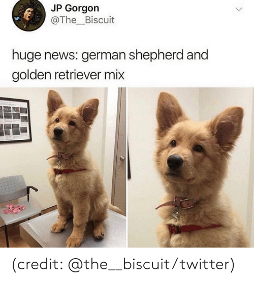 Dank, News, and Twitter: JP Gorgon  @The_Biscuit  huge news: german shepherd and  golden retriever mix (credit: @the__biscuit/twitter)