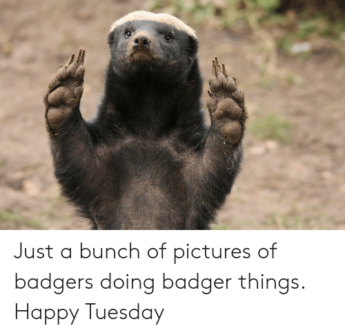 Happy, Pictures, and Badger: Just a bunch of pictures of badgers doing badger things. Happy Tuesday