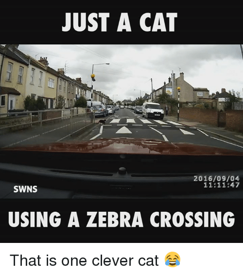 zebra crossing: JUST A CAT  2016/09/04  11:11:47  SWNS  USING A ZEBRA CROSSING That is one clever cat 😂