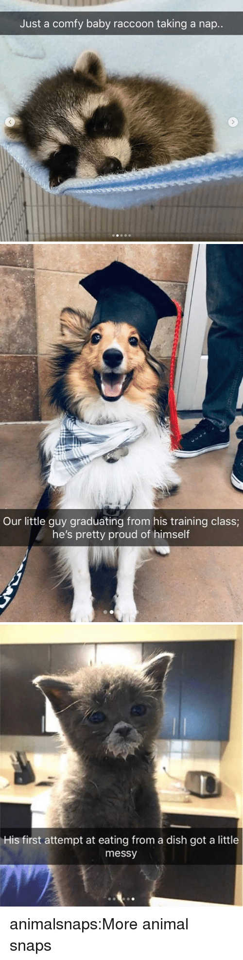 Target, Tumblr, and Animal: Just a comfy baby raccoon taking a nap..   Our little guy graduating from his training class  he's pretty proud of himself   His first attempt at eating from a dish got a little  messy animalsnaps:More animal snaps