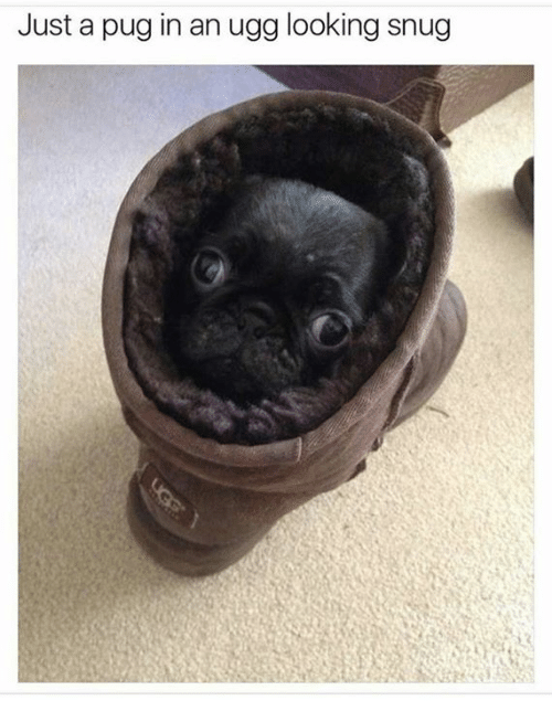 Pug In An Ugg: Just a pug in an ugg looking snug