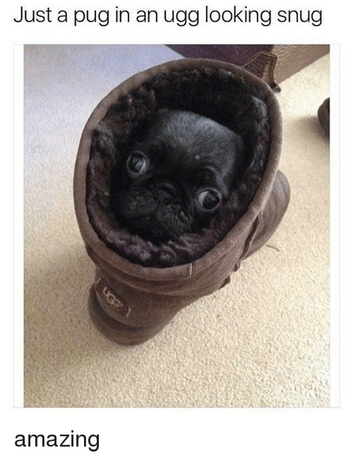 Pug In An Ugg: Just a pug in an ugg looking snug amazing
