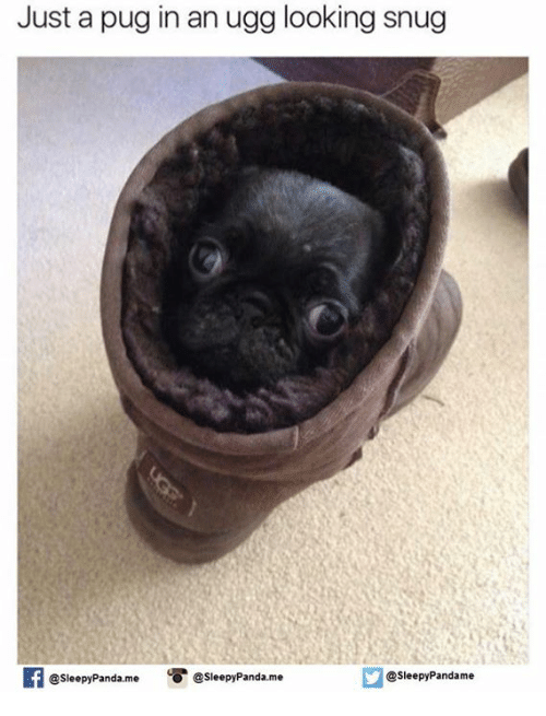 Pug In An Ugg: Just a pug in an ugg looking snug  If @Sleepy Pandame  @sleepy Panda me Sleepy Panda me