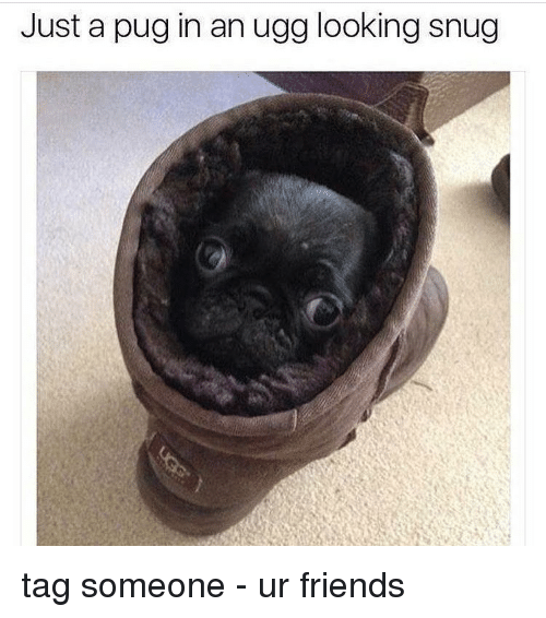 Pug In An Ugg: Just a pug in an ugg looking snug tag someone - ur friends