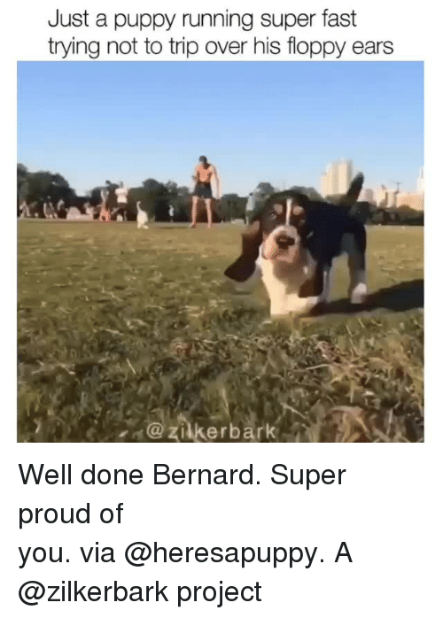 Instagram, Target, and Puppy: Just a puppy running super fast  trying not to trip over his floppy ears  zilkerbark Well done Bernard. Super proud of you.via@heresapuppy.A @zilkerbark project