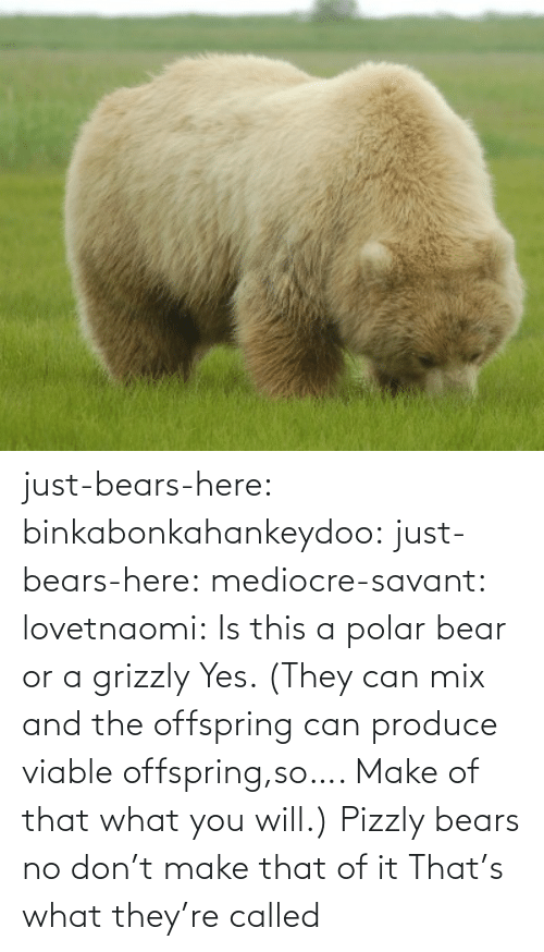 mediocre: just-bears-here: binkabonkahankeydoo:   just-bears-here:  mediocre-savant:   lovetnaomi:  Is this a polar bear or a grizzly   Yes. (They can mix and the offspring can produce viable offspring,so…. Make of that what you will.)   Pizzly bears   no don't make that of it   That's what they're called