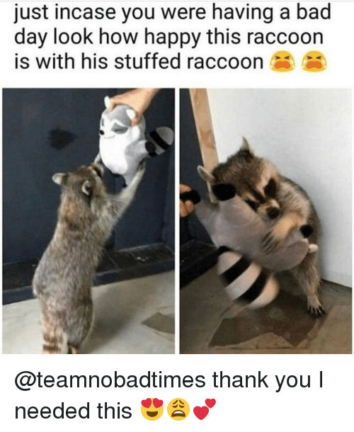 Bad, Bad Day, and Memes: just incase you were having a bad  day look how happy this raccoon  is with his stuffed raccoon @teamnobadtimes thank you I needed this 😍😩💕