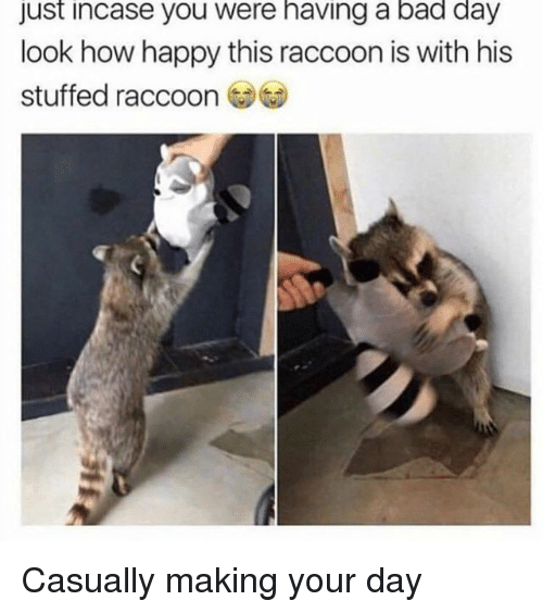 Just Incase: just incase you were having a bad day  look how happy this raccoon is with his  stuffed raccoon Casually making your day