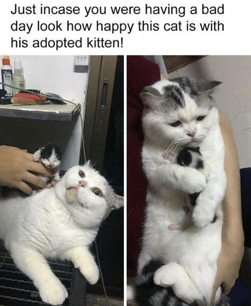 Bad, Bad Day, and Memes: Just incase you were having a bad  day look how happy this cat is with  his adopted kitten!
