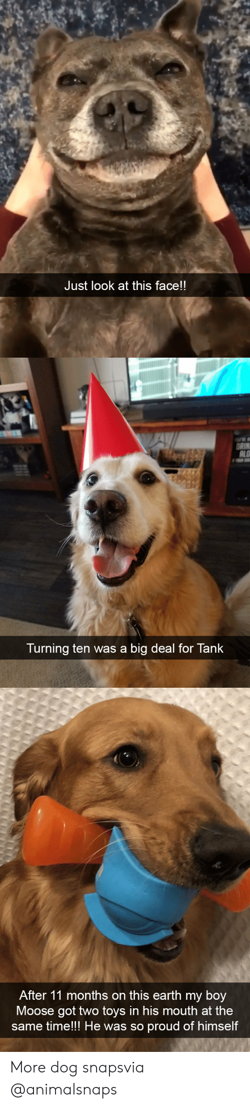 This Face: Just look at this face!!   ALO  Turning ten was a big deal for Tank   After 11 months on this earth my boy  9  Moose got two toys in his mouth at the  mell the was so proud of himse  same time!!! He was so proud of himself More dog snapsvia @animalsnaps