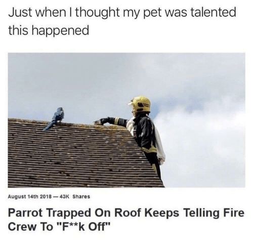 """Fire, Thought, and Parrot: Just when l thought my pet was talented  this happened  August 14th 2018-43K Shares  Parrot Trapped On Roof Keeps Telling Fire  Crew To """"F**k Off"""""""