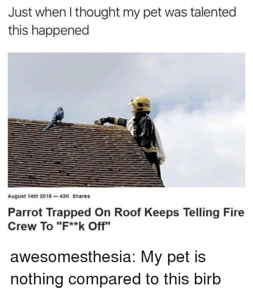 """Fire, Tumblr, and Blog: Just when l thought my pet was talented  this happened  August 14th 2018-43K Shares  Parrot Trapped On Roof Keeps Telling Fire  Crew To """"F**k Off"""" awesomesthesia:  My pet is nothing compared to this birb"""