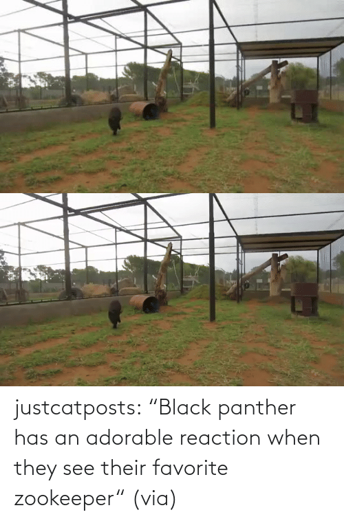 "Adorable: justcatposts:  ""Black panther has an adorable reaction when they see their favorite zookeeper"" (via)"