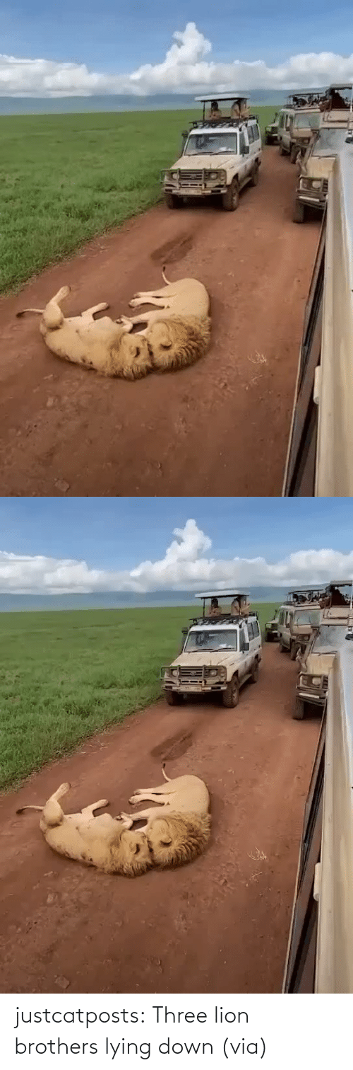 Lying: justcatposts:  Three lion brothers lying down (via)