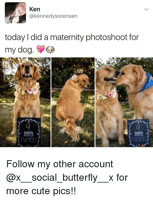 Cute, Ken, and Memes: Ken  @kennedysorensen  today I did a maternity photoshoot for  my dog.  DAYS  DAYS Follow my other account @x__social_butterfly__x for more cute pics!!
