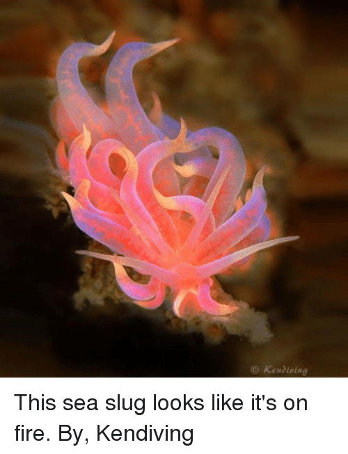 sea slug: Kenaioing This sea slug looks like it's on fire.  By, Kendiving