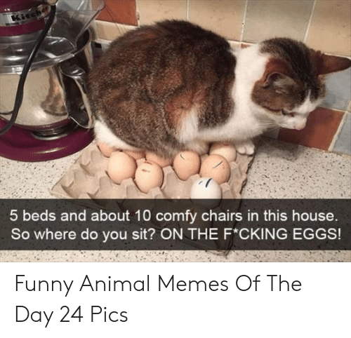 funny animal memes: Kicche  5 beds and about 10 comfy chairs in this house.  So where do you sit? ON THE F*CKING EGGS! Funny Animal Memes Of The Day 24 Pics