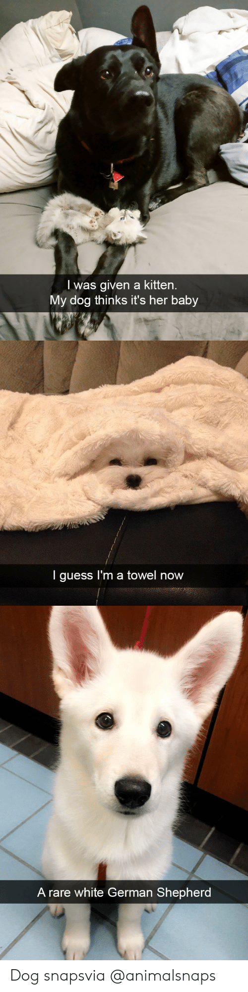 Target, Tumblr, and German Shepherd: l was given a kitten.  My dog thinks it's her baby   I guess I'm a towel now   A rare white German Shepherd Dog snapsvia @animalsnaps