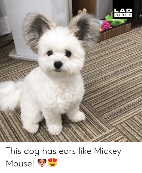 Mickey Mouse: LAD  BIBL E This dog has ears like Mickey Mouse! 🐶😍