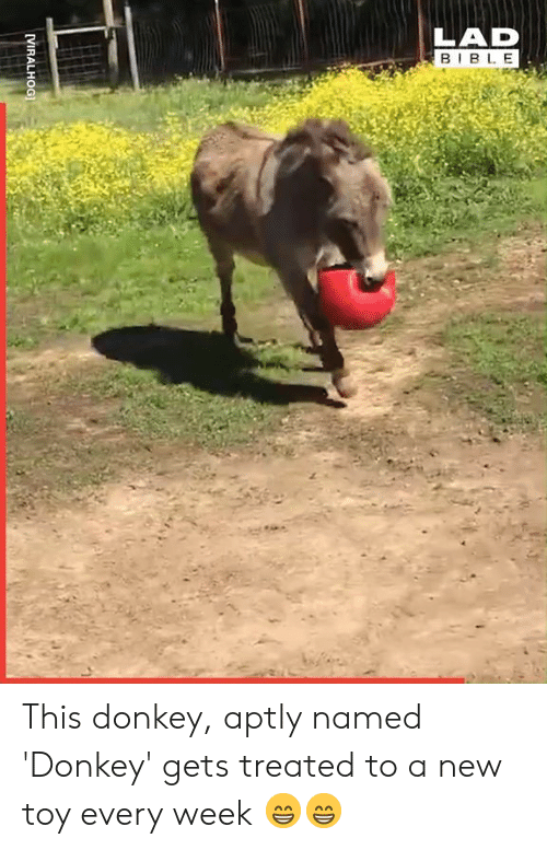 new toy: LAD  BIBL E This donkey, aptly named 'Donkey' gets treated to a new toy every week 😁😁