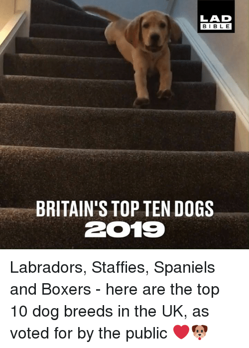 top ten: LAD  BIBLE  BRITAIN'S TOP TEN DOGS  2019 Labradors, Staffies, Spaniels and Boxers - here are the top 10 dog breeds in the UK, as voted for by the public ❤🐶