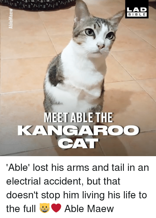 Dank, Life, and Lost: LAD  BIBLE  MEET ABLE THE  KANGAROO  CAT 'Able' lost his arms and tail in an electrial accident, but that doesn't stop him living his life to the full 😺❤️  Able Maew