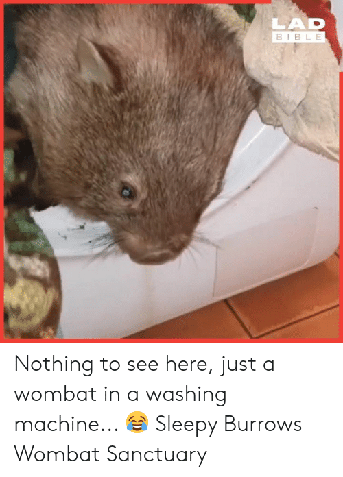 Dank, Bible, and 🤖: LAD  BIBLE Nothing to see here, just a wombat in a washing machine... 😂  Sleepy Burrows Wombat Sanctuary