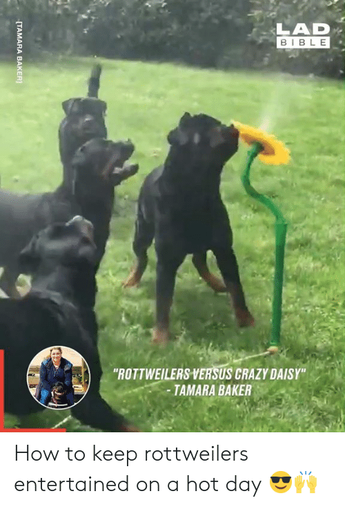 """Lad Bible: LAD  BIBLE  """"ROTTWEILERS VERSUS CRAZY DAISY""""  -TAMARA BAKER  [TAMARA BAKER How to keep rottweilers entertained on a hot day 😎🙌"""