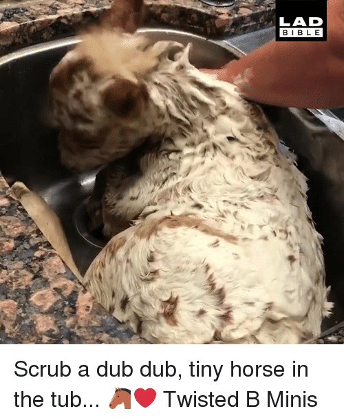 Dank, Bible, and Horse: LAD  BIBLE Scrub a dub dub, tiny horse in the tub... 🐴❤️  Twisted B Minis