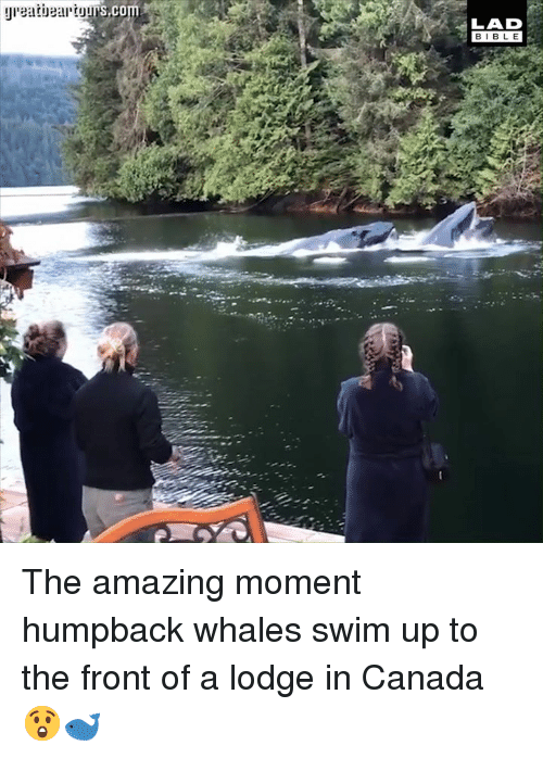 Dank, Bible, and Canada: LAD  BIBLE The amazing moment humpback whales swim up to the front of a lodge in Canada 😲🐋