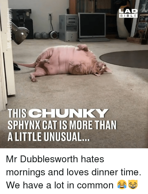 Dank, Bible, and Common: LAD  BIBLE  THIS CHUNKY  SPHYNX CAT IS MORE THAN  A LITTLE UNUSUAL.. Mr Dubblesworth hates mornings and loves dinner time. We have a lot in common 😂😸