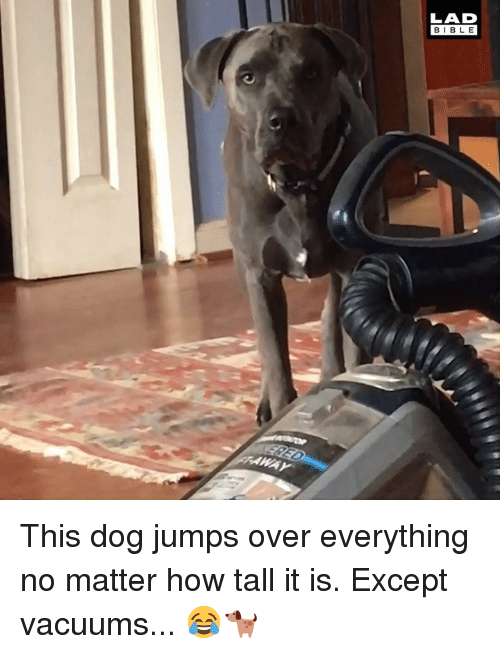 vacuums: LAD  BIBLE This dog jumps over everything no matter how tall it is. Except vacuums... 😂🐕