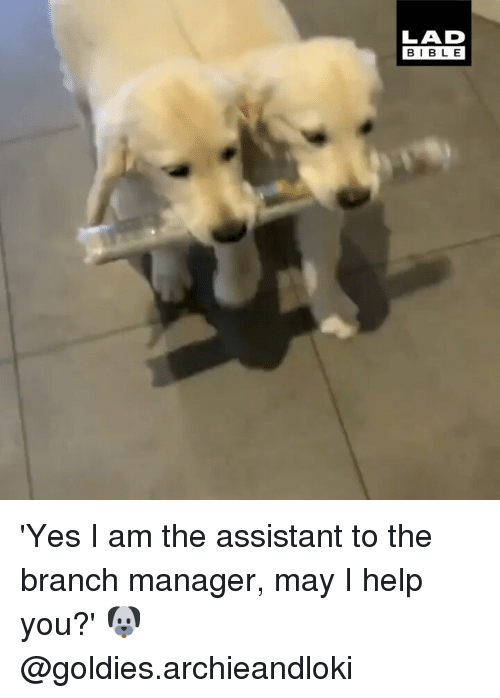 Memes, Bible, and Help: LAD  BIBLE 'Yes I am the assistant to the branch manager, may I help you?' 🐶 @goldies.archieandloki