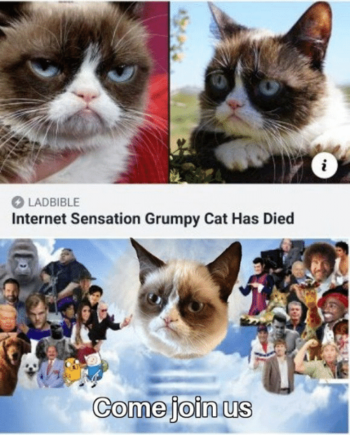 Dank, Internet, and Grumpy Cat: LADBIBLE  Internet Sensation Grumpy Cat Has Died  Comejoin us