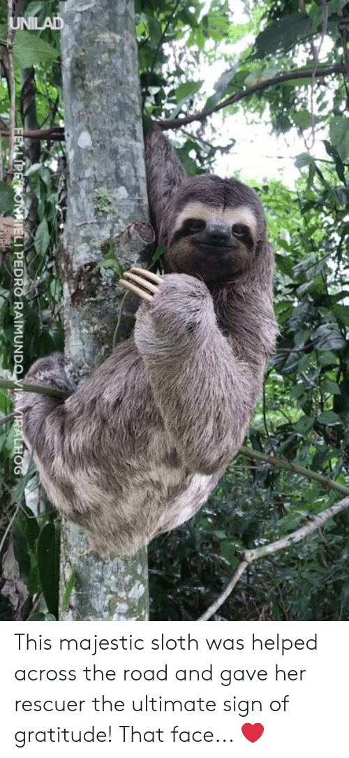 pedro: LI PEDRO RAIMUN This majestic sloth was helped across the road and gave her rescuer the ultimate sign of gratitude! That face... ❤️