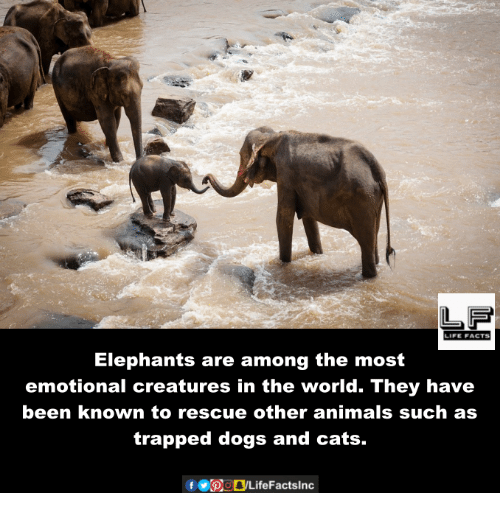 dog-and-cats: LIFE FACTS  Elephants are among the most  emotional creatures in the world. They have  been known to rescue other animals such as  trapped dogs and cats.  f bogLife Facts Inc