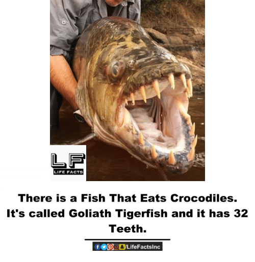 Facts, Life, and Memes: LIFE FACTS  There is a Fish That Eats Crocodiles.  It's called Goliath Tigerfish and it has 32  Teeth.
