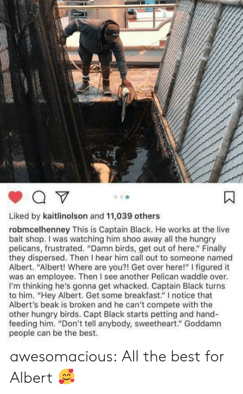 """where are you: Liked by kaitlinolson and 11,039 others  robmcelhenney This is Captain Black. He works at the live  bait shop. I was watching him shoo away all the hungry  pelicans, frustrated. """"Damn birds, get out of here."""" Finally  they dispersed. Then I hear him call out to someone named  Albert. """"Albert! Where are you?! Get over here!"""" I figured it  was an employee. Then I see another Pelican waddle over.  I'm thinking he's gonna get whacked. Captain Black turns  to him. """"Hey Albert. Get some breakfast."""" I notice that  Albert's beak is broken and he can't compete with the  other hungry birds. Capt Black starts petting and hand-  feeding him. """"Don't tell anybody, sweetheart."""" Goddamn  people can be the best. awesomacious:  All the best for Albert 🥰"""