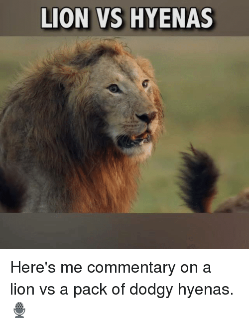 Commentary: LION VS HYENAS Here's me commentary on a lion vs a pack of dodgy hyenas.🎙