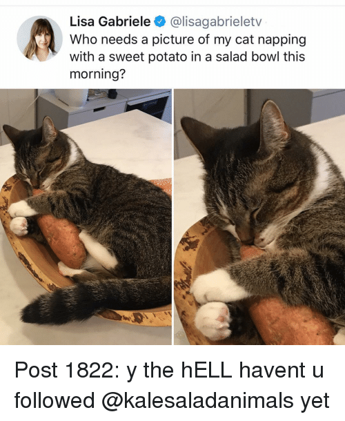 Memes, Potato, and Hell: Lisa Gabriele @lisagabrieletv  Who needs a picture of my cat napping  with a sweet potato in a salad bowl this  morning? Post 1822: y the hELL havent u followed @kalesaladanimals yet