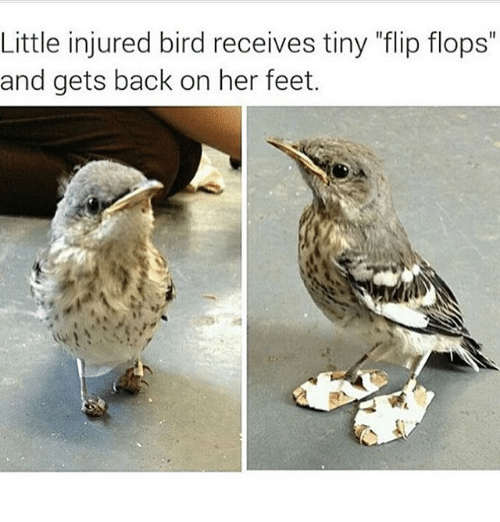 """feets: Little injured bird receives tiny """"flip flops""""  and gets back on her feet."""