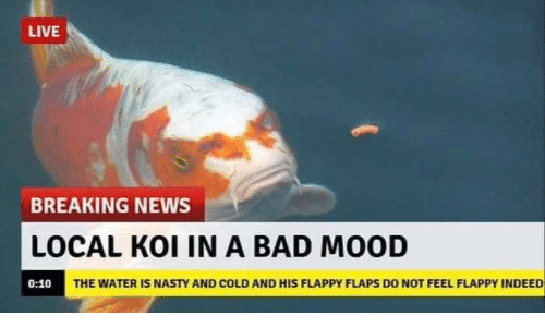 In A Bad Mood: LIVE  BREAKING NEWS  LOCAL KOI IN A BAD MOOD  THE WATER IS NASTY AND COLD AND HIS FLAPPY FLAPS DO NOT FEEL FLAPPY INDEED  0:10