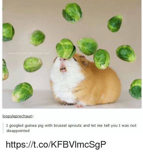 Disappointed, Brussel Sprouts, and Guinea Pig: loo  leprechaun:  I googled guinea pig with brussel sprouts and let me tell you I was not  disappointed https://t.co/KFBVlmcSgP