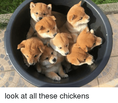 Look At All These: look at all these chickens