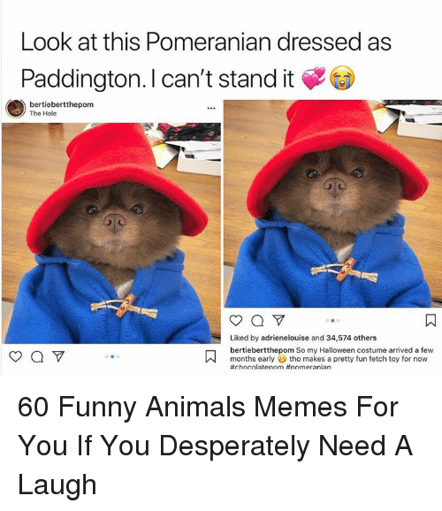 Animals Memes: Look at this Pomeranian dressed as  Paddington. I can't stand it  bertiebertthepom  The Hole  Liked by adrienelouise and 34,574 others  bertiebertthepom So my Halloween costume arrived a few  months early tho makes a pretty fun fetch toy for now  60 Funny Animals Memes For You If You Desperately Need A Laugh